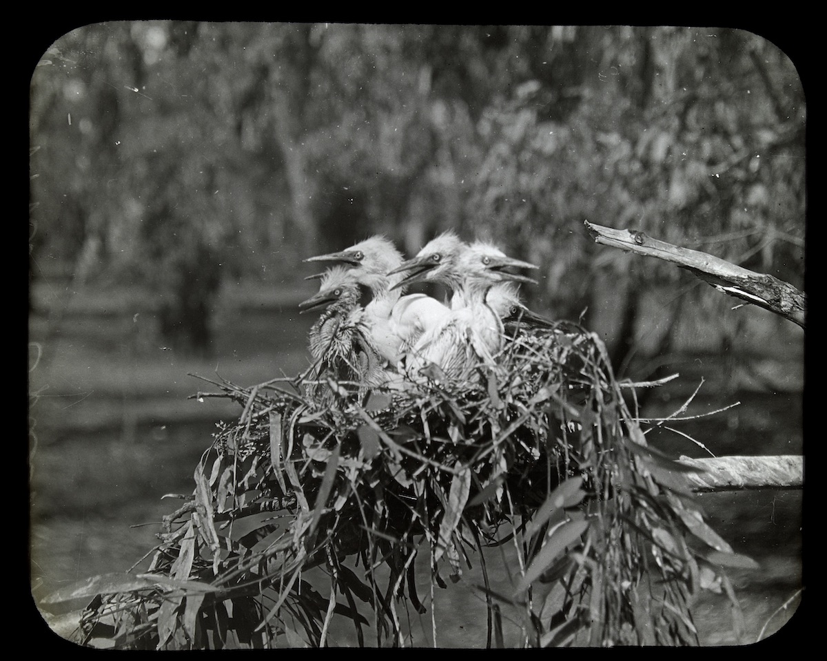 Starving egret chicks: by Australian orinthologist Arthur Mattingley, courtesy of the State Library of Victoria